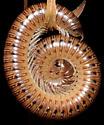 Uroblaniulus sp - Uroblaniulus