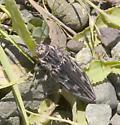 Chalcophora angulicollis
