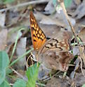 Cow Patty Butterfly - Asterocampa clyton