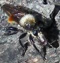 Robber Fly III - Laphria janus