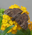 Butterfly - Erynnis horatius