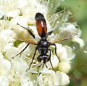 Wasp Mimic Fly - Cylindromyia