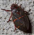 Something in Hemiptera perhaps? - Prosapia bicincta