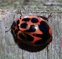 lady bug - Neoharmonia venusta