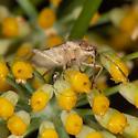 Miridae? - Liorhyssus hyalinus