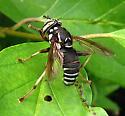 white striped fly - Spilomyia fusca