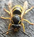 Wasp - Dolichovespula alpicola