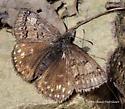Erynnis brizo? - Erynnis icelus - female
