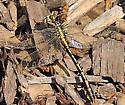 female Plains clubtail Gomphus externus - Gomphurus externus - female