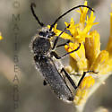 Beetle on Rabbitbrush  - Crossidius ater