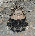 Moth - Tripudia dimidata