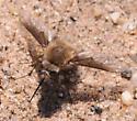 Bombylius mohavensis - female