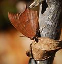 Anaea andria - male