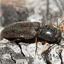 Fuzzy Beetle - Limonius