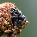 Phidippus audax - Bold Jumper, Female? - Phidippus audax