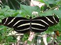 Zebra Longwing - Heliconius charithonia