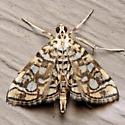 Lygropia rivulalis
