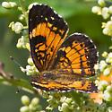 Unknown Checkerspot on Shining Sumac (Rhus copallina) - Chlosyne nycteis