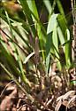 Long-legged Dancing Crane Fly - Brachypremna dispellens