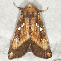 Northern Burdock Borer - Hodges#9471 - Papaipema arctivorens