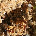 Unpigmented Fire Ant? (Solenopsis invicta) - Solenopsis invicta