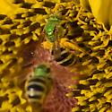 Green metallic sweat bee congregation - Agapostemon virescens