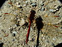 Sympetrum costiferum - male