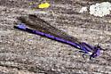 fair damsel - Argia fumipennis - male