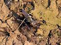 Water strider (Gerris? buenoi??) ID Request - Aquarius