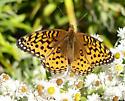 Speyeria - Speyeria aphrodite - female