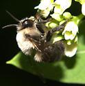 Bee ID [=Anthophora bomboides?] Request - Anthophora abrupta
