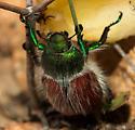 Shining Leaf Chafer (Paracotalpa granicollis)??? - Paracotalpa