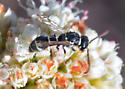 Which wasp near Blue Jay campgrounds? - Leptochilus