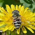 fly for ID - Eristalis stipator
