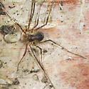 Harvestman - Oligolophus tridens - female