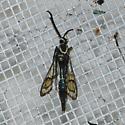 Synanthedon, Clearwing moth - Synanthedon