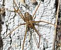 Cellar Spider - Psilochorus