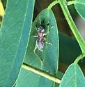 Phyllopalpus pulchellus - Handsome Trig? - Phyllopalpus pulchellus