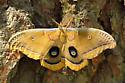 Polyphemus Moth - Antheraea polyphemus - male