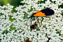 Unknown Moth - Lycomorpha pholus