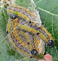 Angle-lined Prominent caterpillars - Clostera inclusa