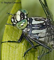 Mustached Clubtail - Hylogomphus adelphus - male