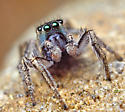 Blue-Faced Habronattus Male - Habronattus borealis - male