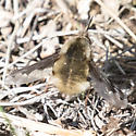 Bombylius major? - Bombylius major