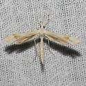 Hodges#6107 - Gillmeria pallidactyla