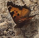 Unknown butterfly - Nymphalis californica