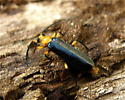 Neopyrochroa femoralis - male