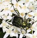 green Cetoniinae - Trichiotinus lunulatus