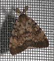 Gypsy Moth (Lymantria dispar) - Lymantria dispar - male