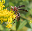 large paper wasp? - Polistes metricus - male